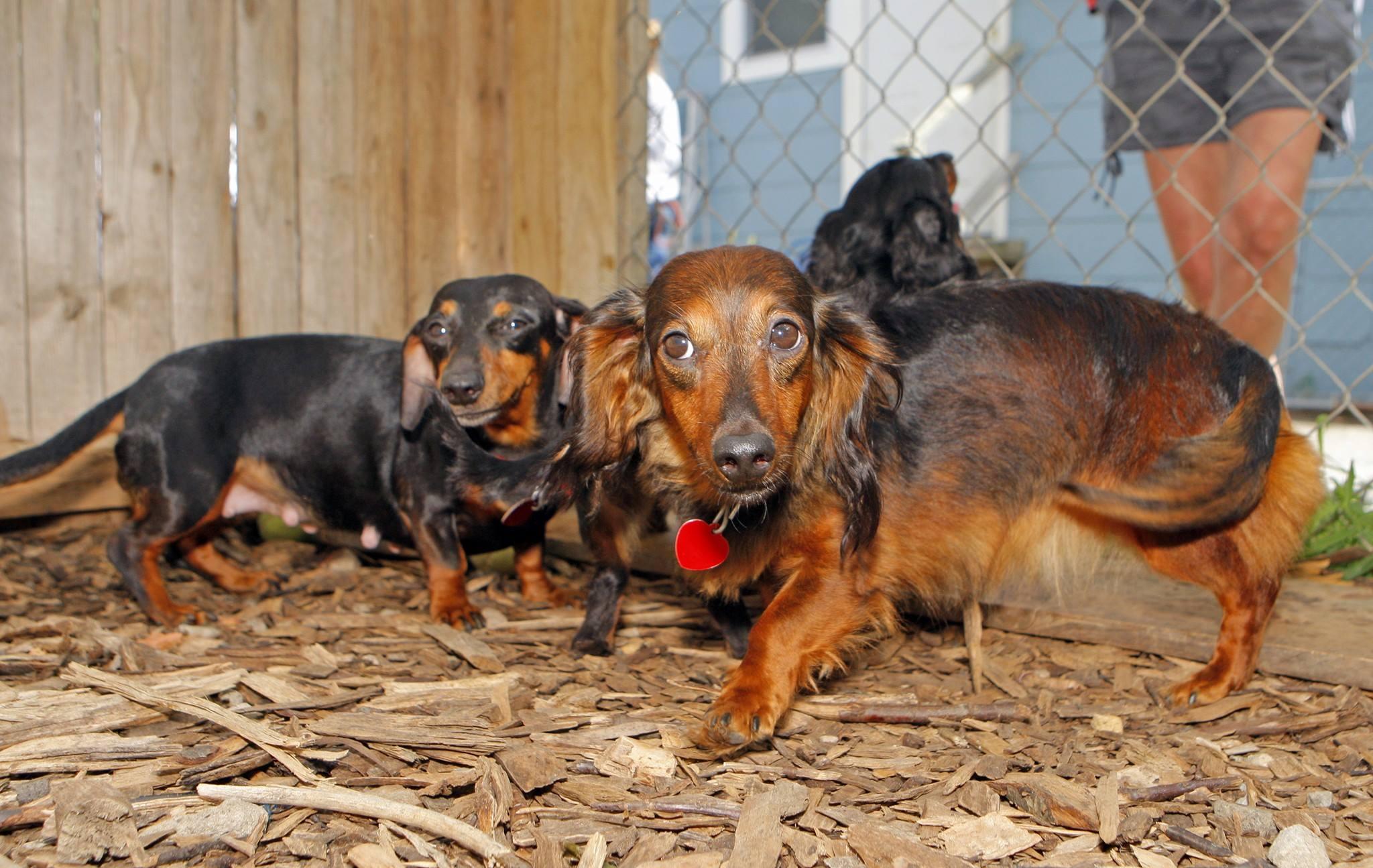 Autoridades descubren y rescatan 27 perros Dachshunds en una casa 6