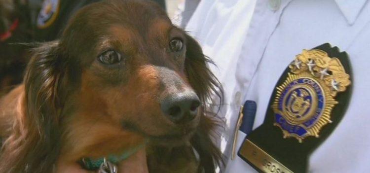 Autoridades descubren y rescatan 27 perros Dachshunds en una casa 9