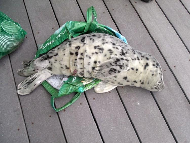 Bebe-foca 1