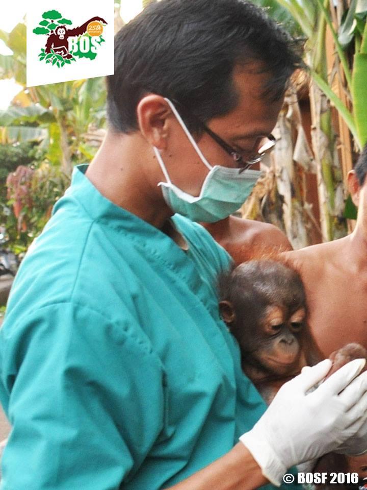 Bebe-orangutan-Jelapat 2