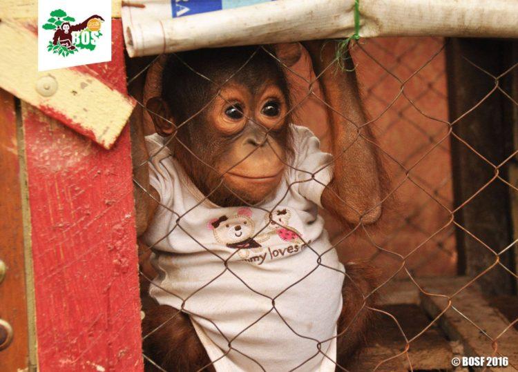Bebe-orangutan-Jelapat 3