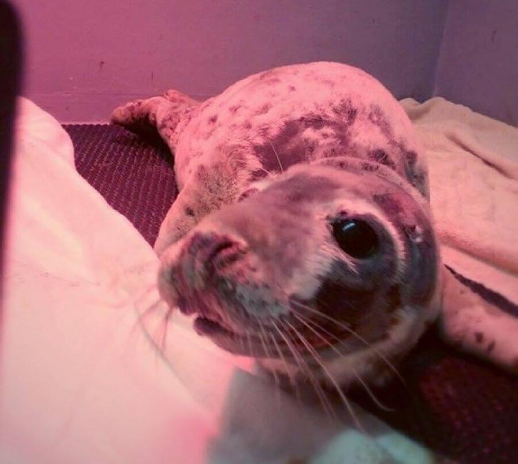 Bonnie-foca-rescatada 1