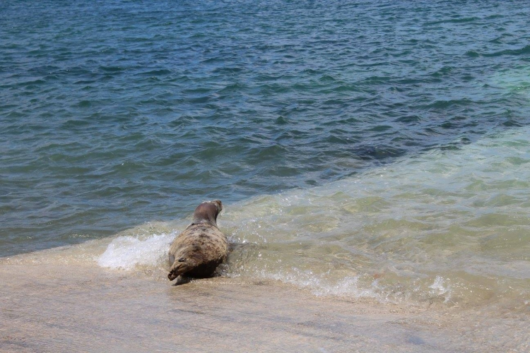 Bonnie-foca-rescatada 5