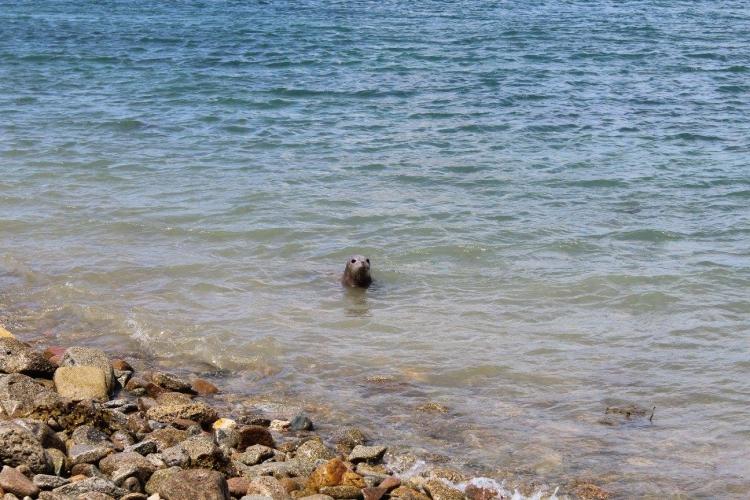 Bonnie-foca-rescatada 6