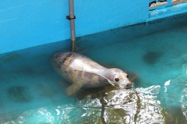 Bonnie-foca-rescatada 7