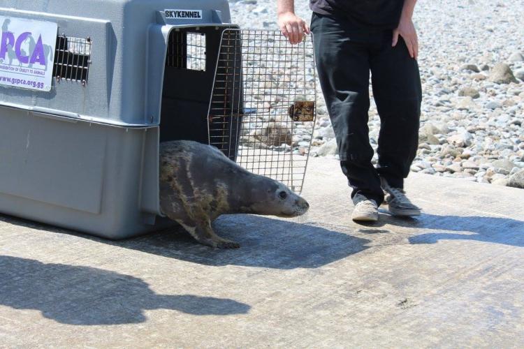 Bonnie-foca-rescatada 8