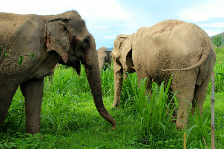 Elefanta-Sao-Noi-murio 11