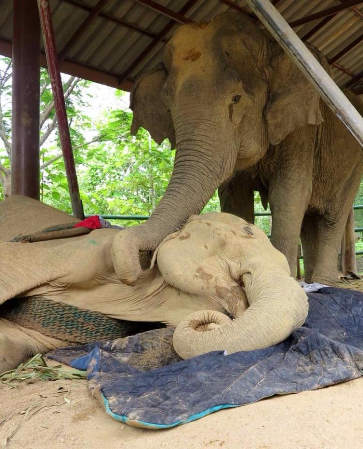 Elefanta-Sao-Noi-murio 5