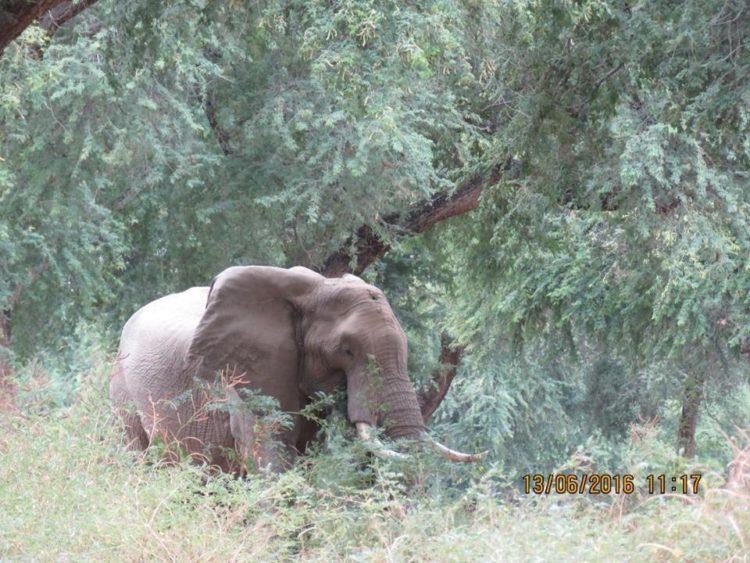 Elefante-herido-de-bala 1