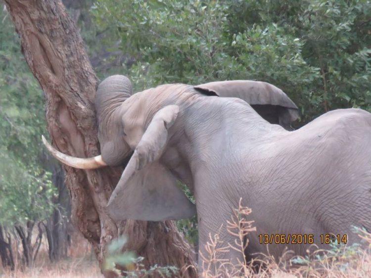 Elefante-herido-de-bala 10
