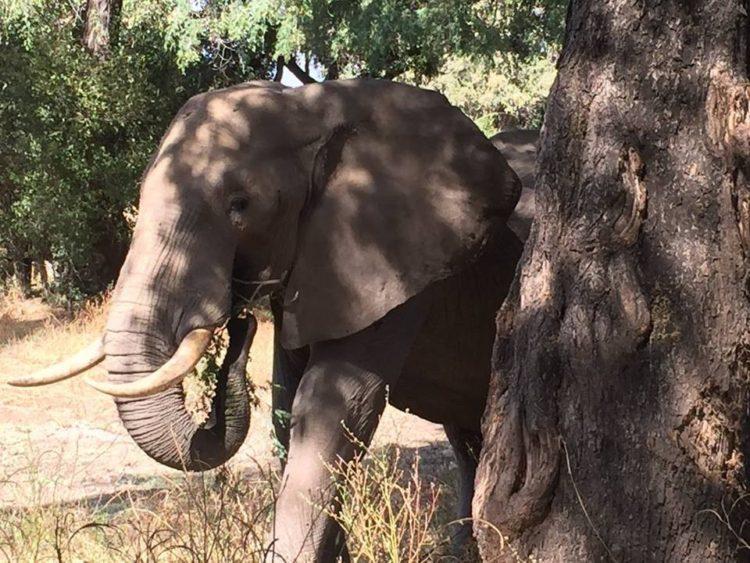 Elefante-herido-de-bala 11
