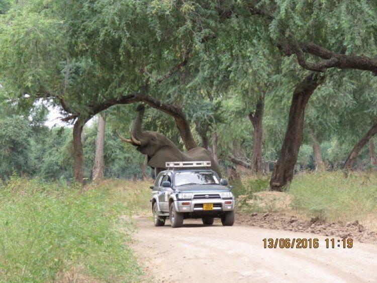 Elefante-herido-de-bala 3