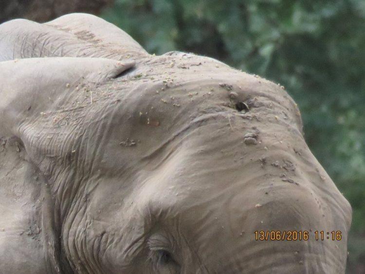 Elefante-herido-de-bala 4