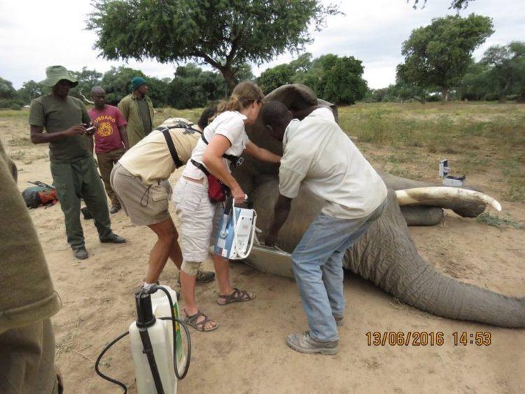 Elefante-herido-de-bala 7