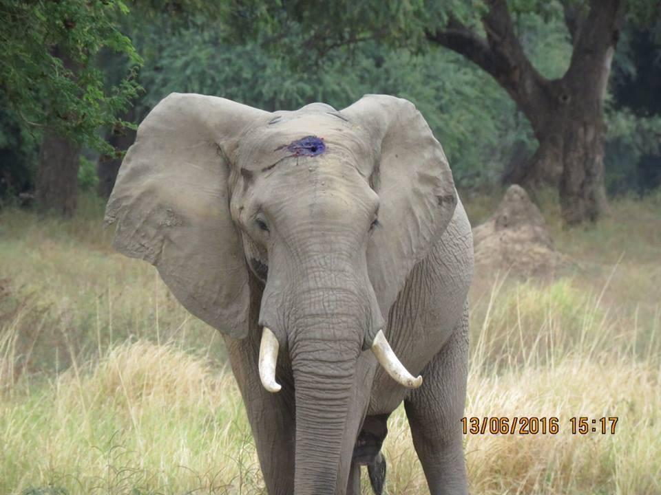 Elefante-herido-de-bala 9