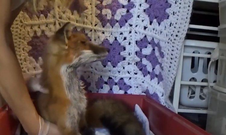 Fox Red y Bruno 10