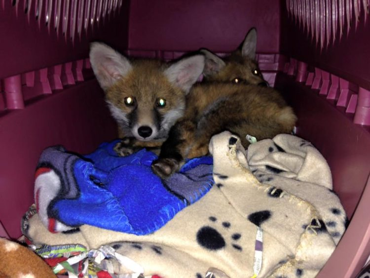 Fox Red y Bruno 12