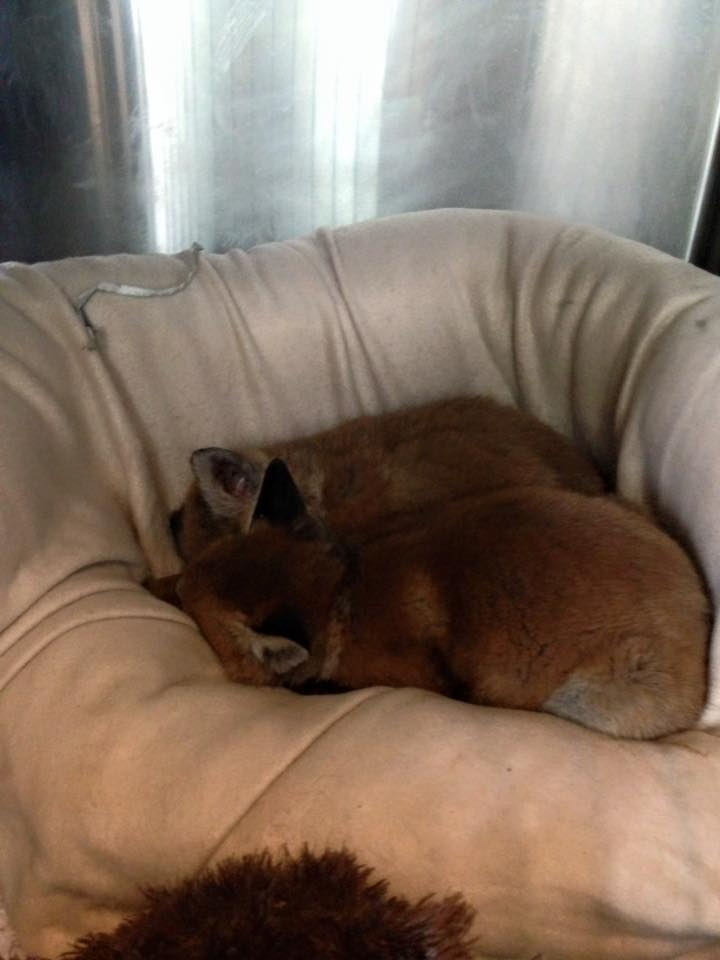 Fox Red y Bruno 14