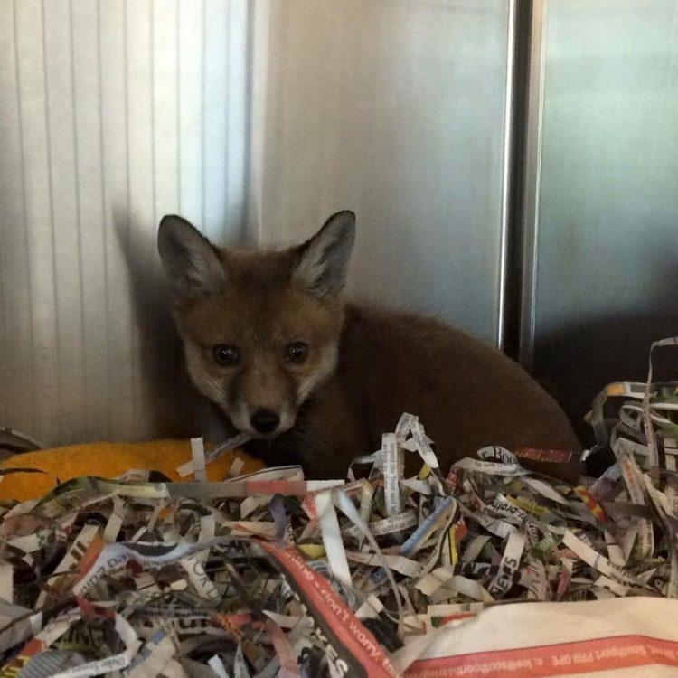 Fox Red y Bruno 15
