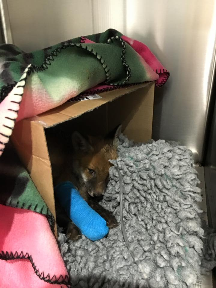 Fox Red y Bruno 16