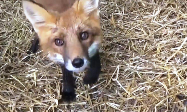 Fox Red y Bruno 18