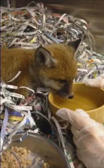Fox Red y Bruno 5