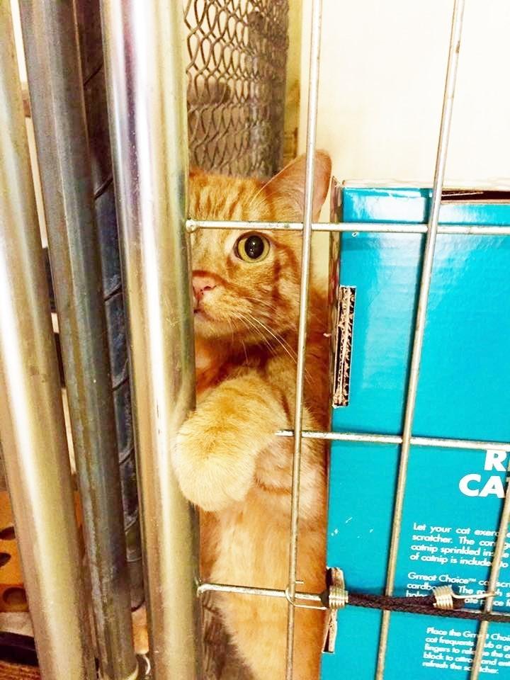 Gato-atigrado-naranja 1