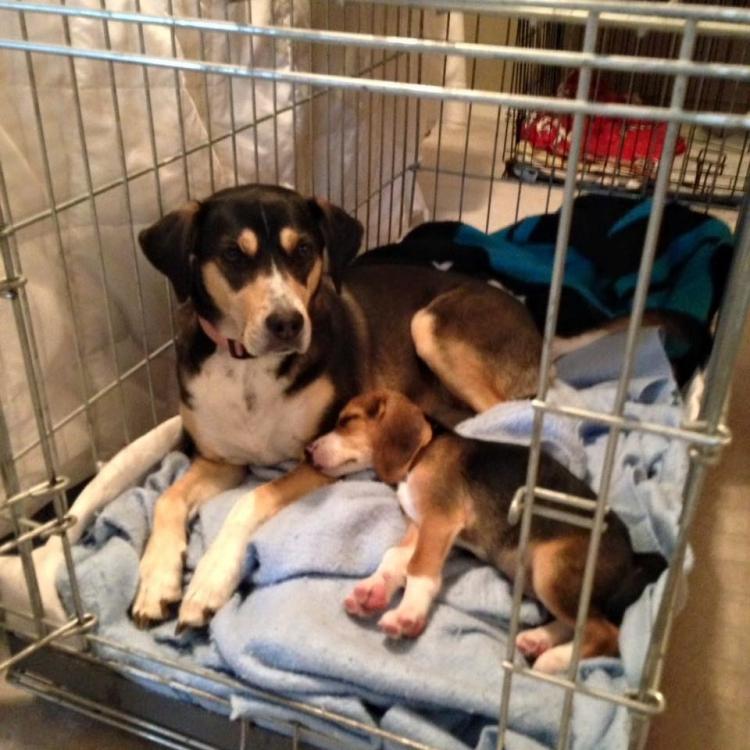 Howie-Beagle 11