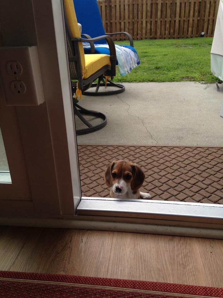 Howie-Beagle 13