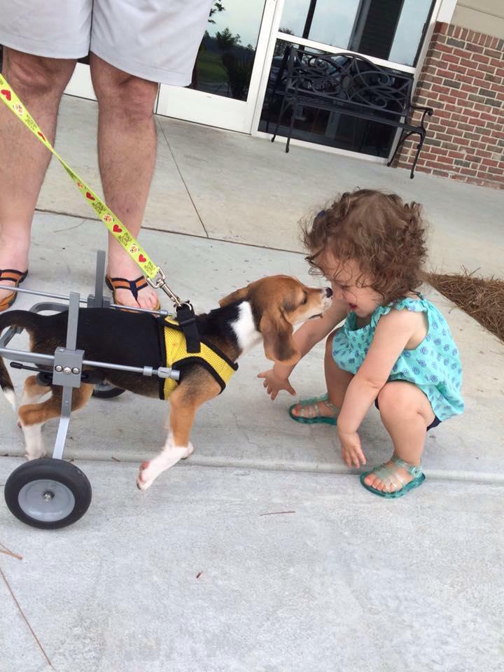 Howie-Beagle 3