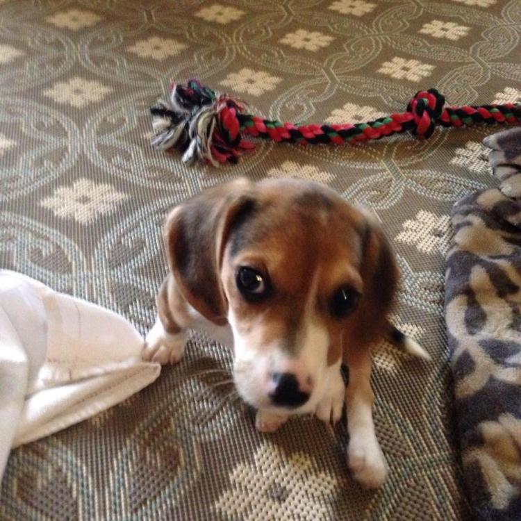 Howie-Beagle 5