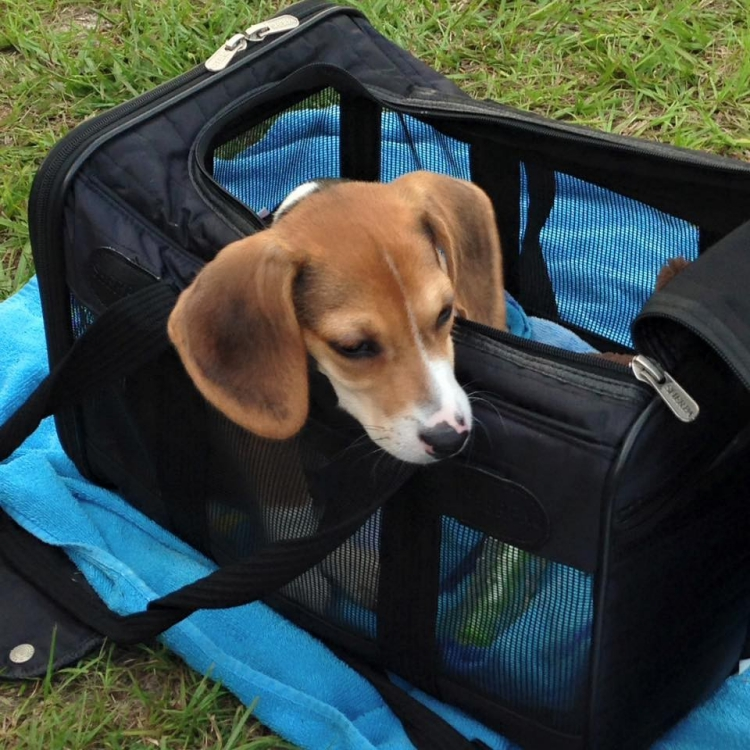 Howie-Beagle 7