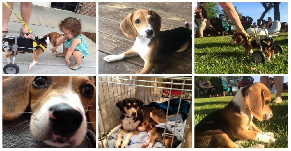Howie-Beagle-portada