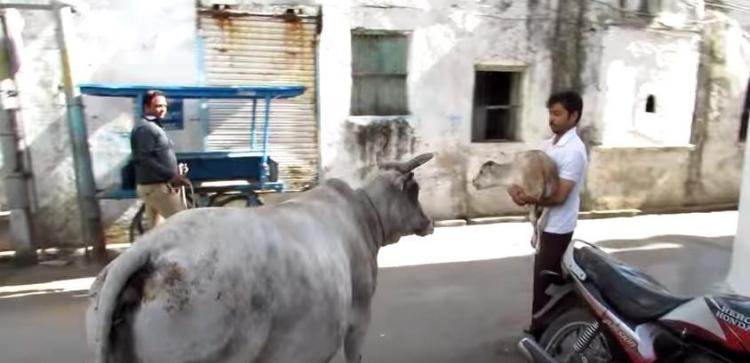 Mama-vaca-ternero-lastimado 3