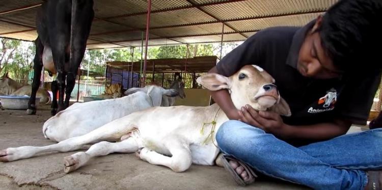 Mama-vaca-ternero-lastimado 8