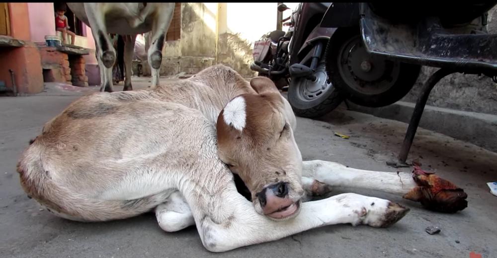 Mama-vaca-ternero-lastimado-portada