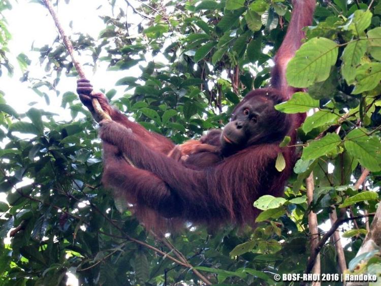 Orangutan-dio-a-luz 1