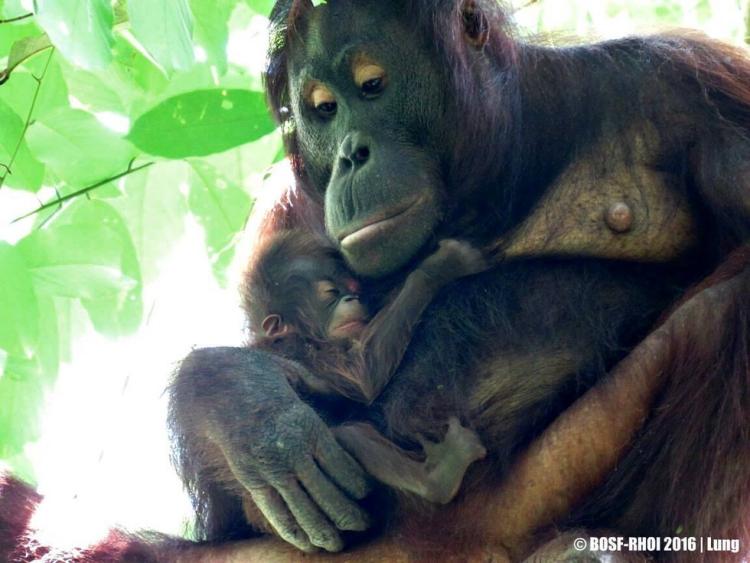 Orangutan-dio-a-luz 2