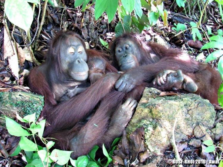 Orangutan-dio-a-luz 3