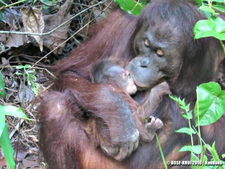 Orangutan-dio-a-luz 4