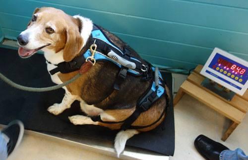 Perro-obeso-adoptado 9