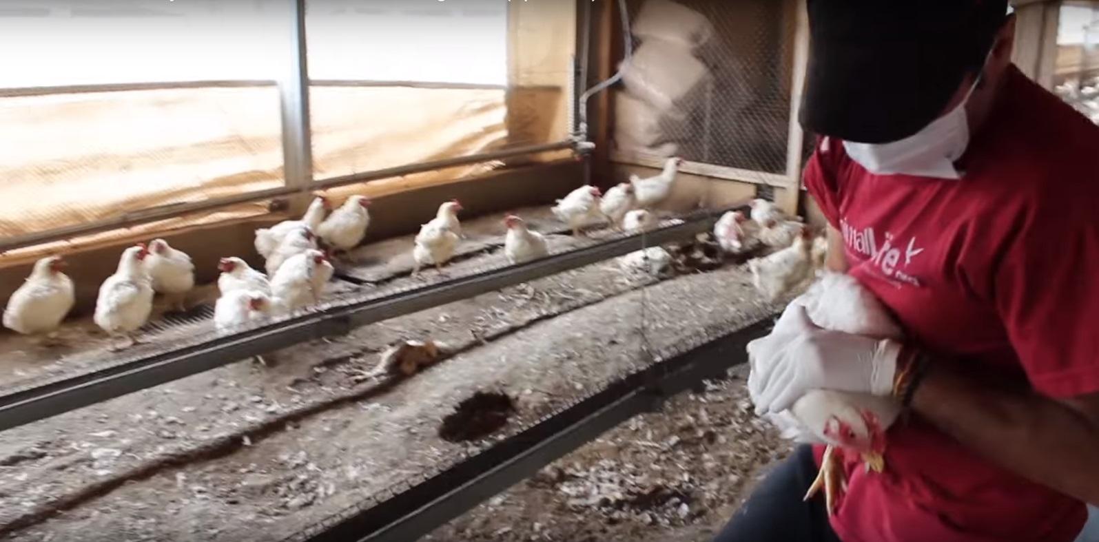 Rescate mas de 1000 gallinas Argentina 13
