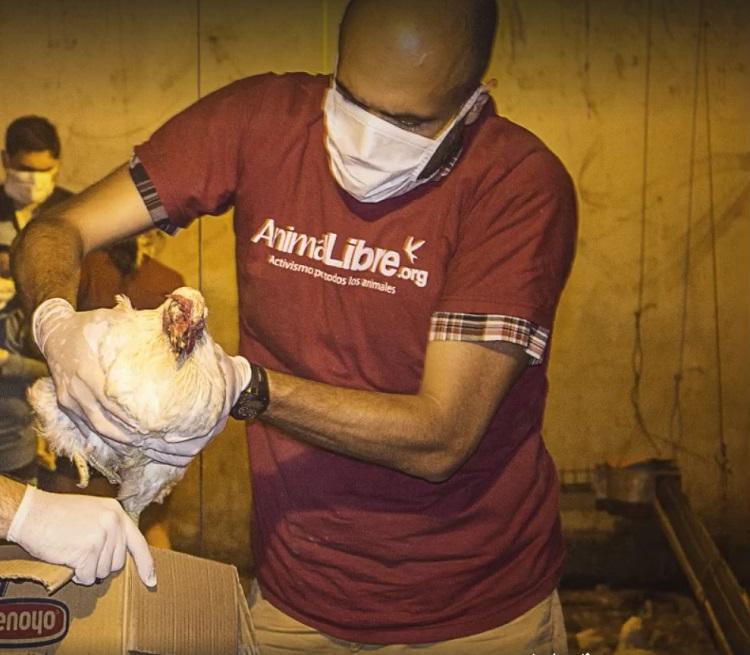 Rescate mas de 1000 gallinas Argentina 4