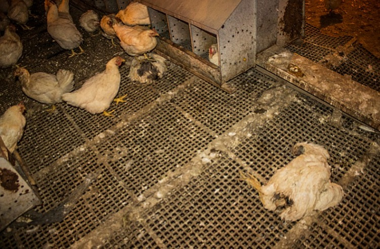 Rescate mas de 1000 gallinas Argentina 5