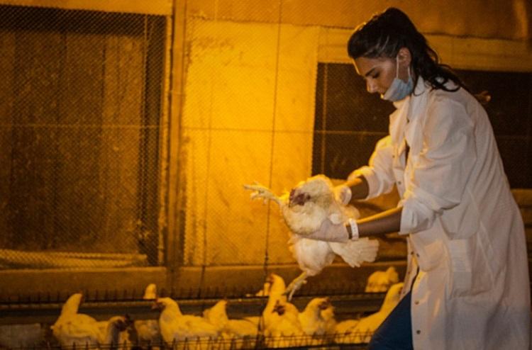 Rescate mas de 1000 gallinas Argentina 8