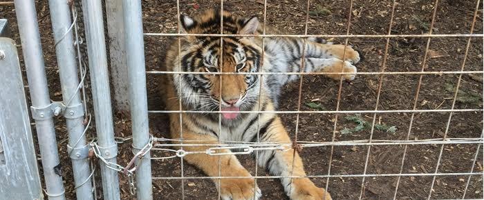 Tigre-mascota-futbol-americano 6