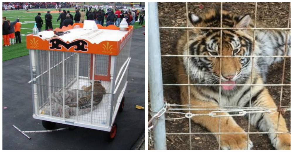 Tigre-mascota-futbol-americano-portada