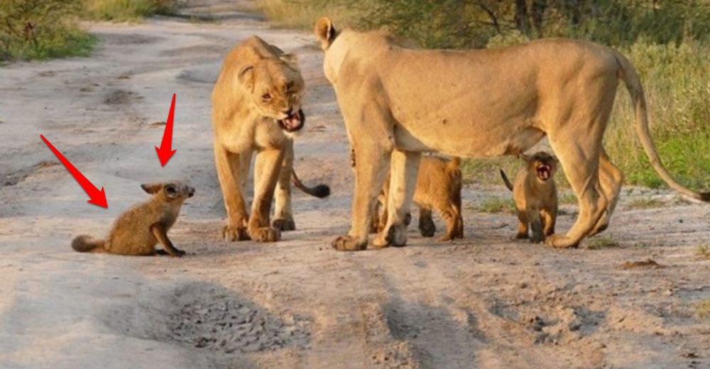 Zorro-enfrenta-leones-Botsuana-portada-imagenes