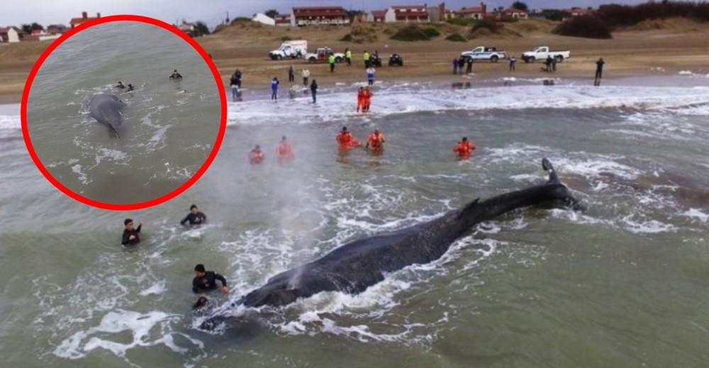 ballena-mar-del-tuyu-rescatada-volvio-al-mar