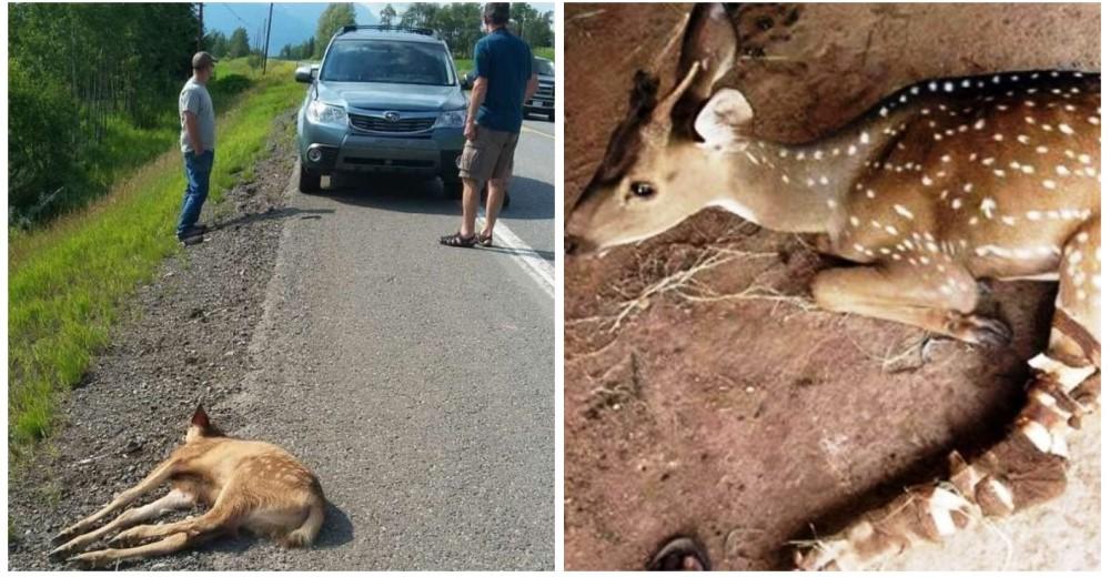 bebe-ciervo-rescatado-en-la-carretera1 - Copy